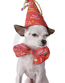 chihuahua-in-a-birthday-hat-thumb256931.jpg