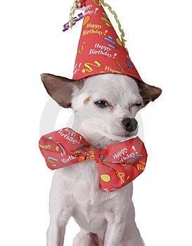chihuahua-in-a-birthday-hat-thumb256931.jpg